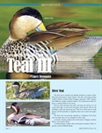Waterfowl Photo Reference Study: Teal Part III