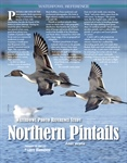 Waterfowl Photo Reference Study Northern Pintails