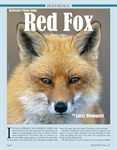 Reference Photo Study Red Fox
